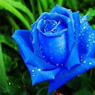 Resultado de imagen de fotos de rosas de colores