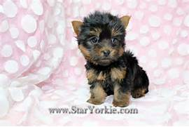 Pictures teacup maltese puppies for sale teacup maltese vivapets  Black Teacup Maltese Puppies