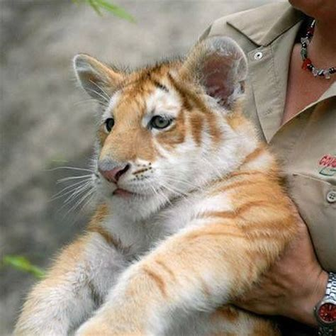 Golden Tabby Tiger Cub Beautiful Animals