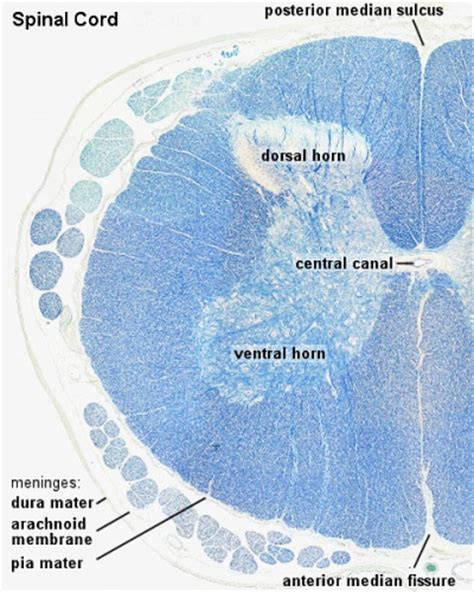 anat introduction  histology embryology