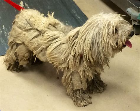 emergency dog grooming animal shelter transforms dog