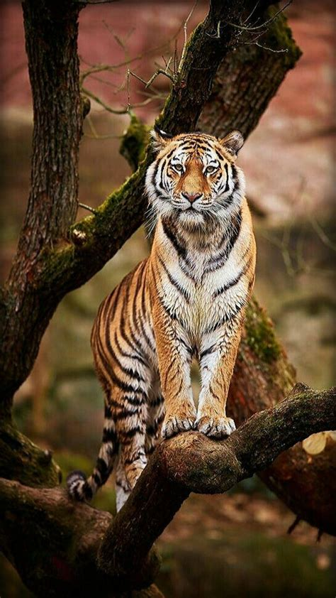 Best Love Tigers Fascination The Most Beautiful