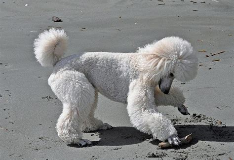 Poodle Haircuts Step By Step