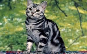tiger cat tiger cat 1920x1200