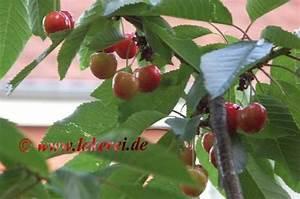 Kiesflächen Im Garten : kirschen im garten ~ Markanthonyermac.com Haus und Dekorationen