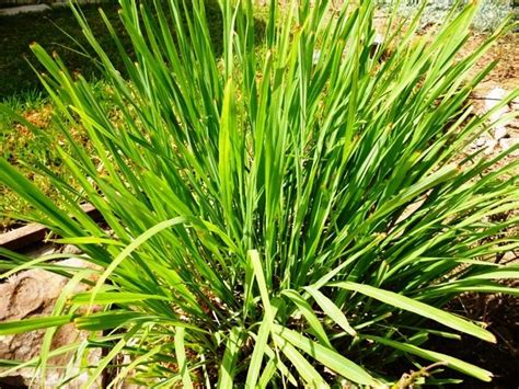 bug repelling plants 12 plants that repel unwanted insects mnn mother nature network