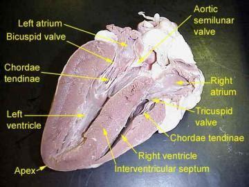 quiz   heart  blood vessels  georgia southern
