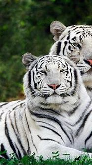 WHITE TIGER PICTURES ~ HD WALLPAPERS
