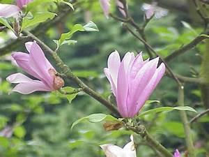 Fleur De Magnolia : photos magnolia fleur de lis magnolia liliflora ~ Melissatoandfro.com Idées de Décoration