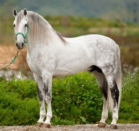 andalusian horse horses spanish breed pre lusitano pure raza pura stallion there spain andalucian recent times need changed been caballo