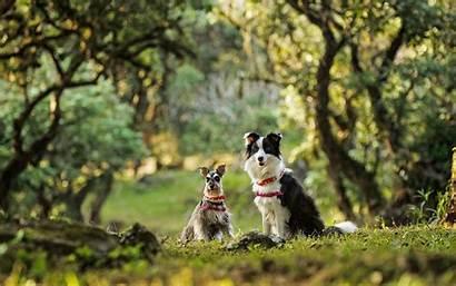 Border Collie Schnauzer Dwarf Dogs Animals Pc