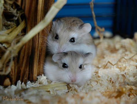 roborovski hamster roborovski hamster a photo on flickriver