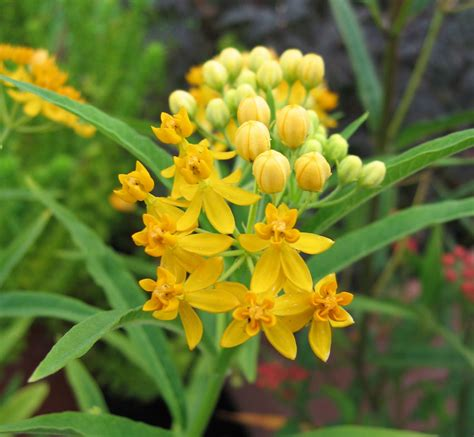 asclepias curassavica silky gold quot milkweed quot buy online