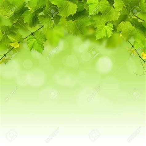 Green Powerpoint Background Stock Images Royalty Free Bunch Of Green Vine Leaves On A White Background Stock