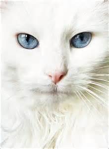 blue eyed cats doookin blue eyed cats wallpapers