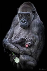1566 best images about Gorillas e Chimps on Pinterest ...
