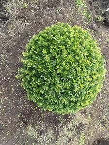 Alternative Zum Buchsbaum : buchsbaumersatz ilex japanische stech h lse ilex crenata 39 buxilex 39 bestellen stechpalme ~ Frokenaadalensverden.com Haus und Dekorationen