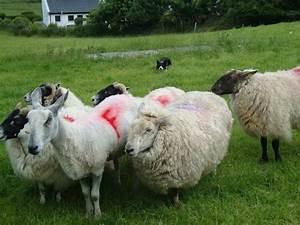 Dog herding sheep - Picture of Atlantic Sheepdogs, Grange ...