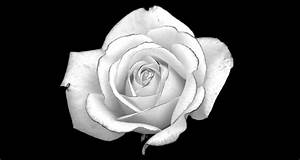 Black and White Rose Desktop Background HD 2560x1363 ...