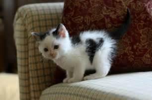 tiny cats 10 adorably tiny cats