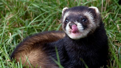 animals ferrets wallpaper
