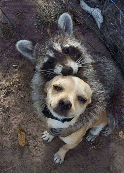 meme generator raccoon hugging dog newfa stuff
