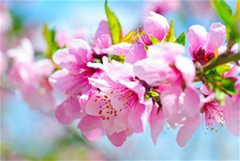 peach blossom day  mar