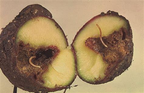 n 233 matodes et myriapodes dans culture de pommes de terre