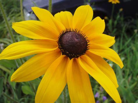 best rated kitchen cabinets medicinal plants black eyed susan black eyed susans