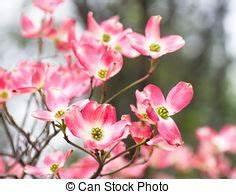 Rosa Blüten Baum : rosa fruehjahr baum hartriegel bl ten schm cken ~ Yasmunasinghe.com Haus und Dekorationen