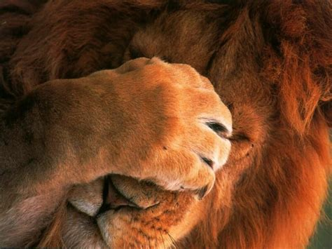 Lion Wallpapers. Images and animals Lion pictures (701)