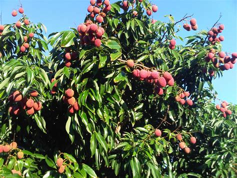 Forum Fruit Trees In Perth Wa