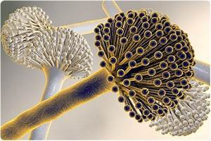 What is Aspergillus niger?