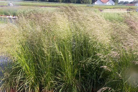 Lavendel Und Gräser by Briglauer Pflanzen Gmbh Gr 228 Ser Fargesia