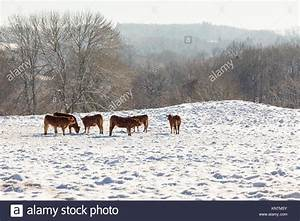 Beef Cows Winter Stock Photos & Beef Cows Winter Stock ...
