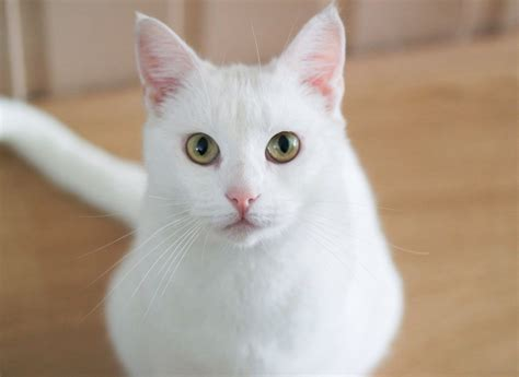 white cat breeds profile white cats
