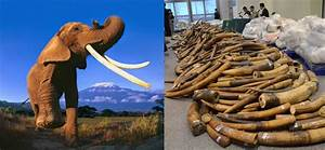 CITES: African elephant poaching down, ivory seizures up ...