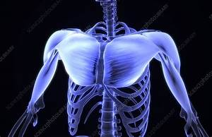 Muscles Of The Chest Area - Stock Image  0396