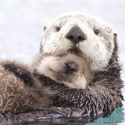 Best 25  Otters ideas on PinterestBaby otters