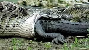 Can a python eat a man? - Quora
