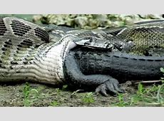 can a python eat a man quora - Olive Garden Cape Coral