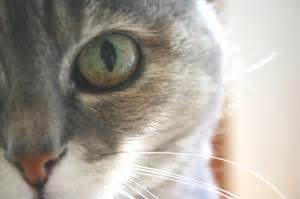 cat eye problems images of cat eye infections