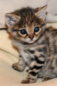 black footed cat black footed cat kitten 2
