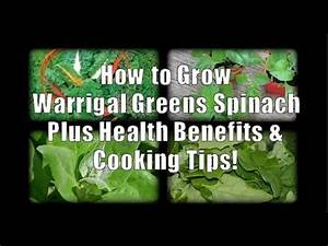Warrigal Greens Spinach How To Grow And Health Benefits