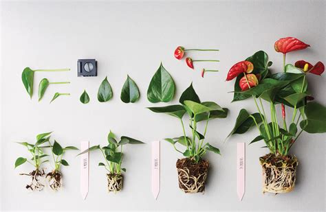 prune  anthurium plant