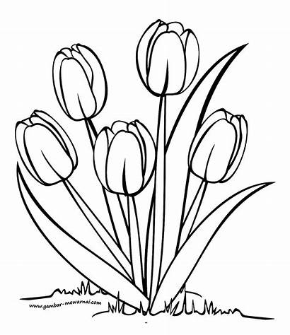 Bunga Mewarnai Gambar Sketsa Tulip Untuk Yang