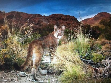 Pin By Nan Barber On Cougar Or Mountain Lion Or Puma