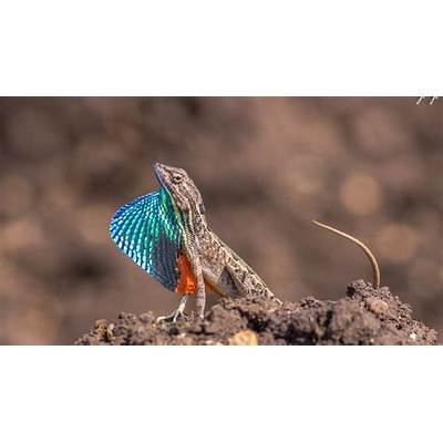 Fan Throated Lizard Pune - YouTube