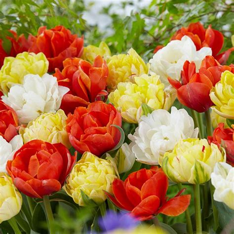 bloomsz single late tulip mix flower bulb 10 pack 07619
