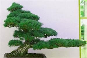 Bonsai Stecklinge Machen : einen bonsai selber machen so kann es funktionieren ~ Indierocktalk.com Haus und Dekorationen